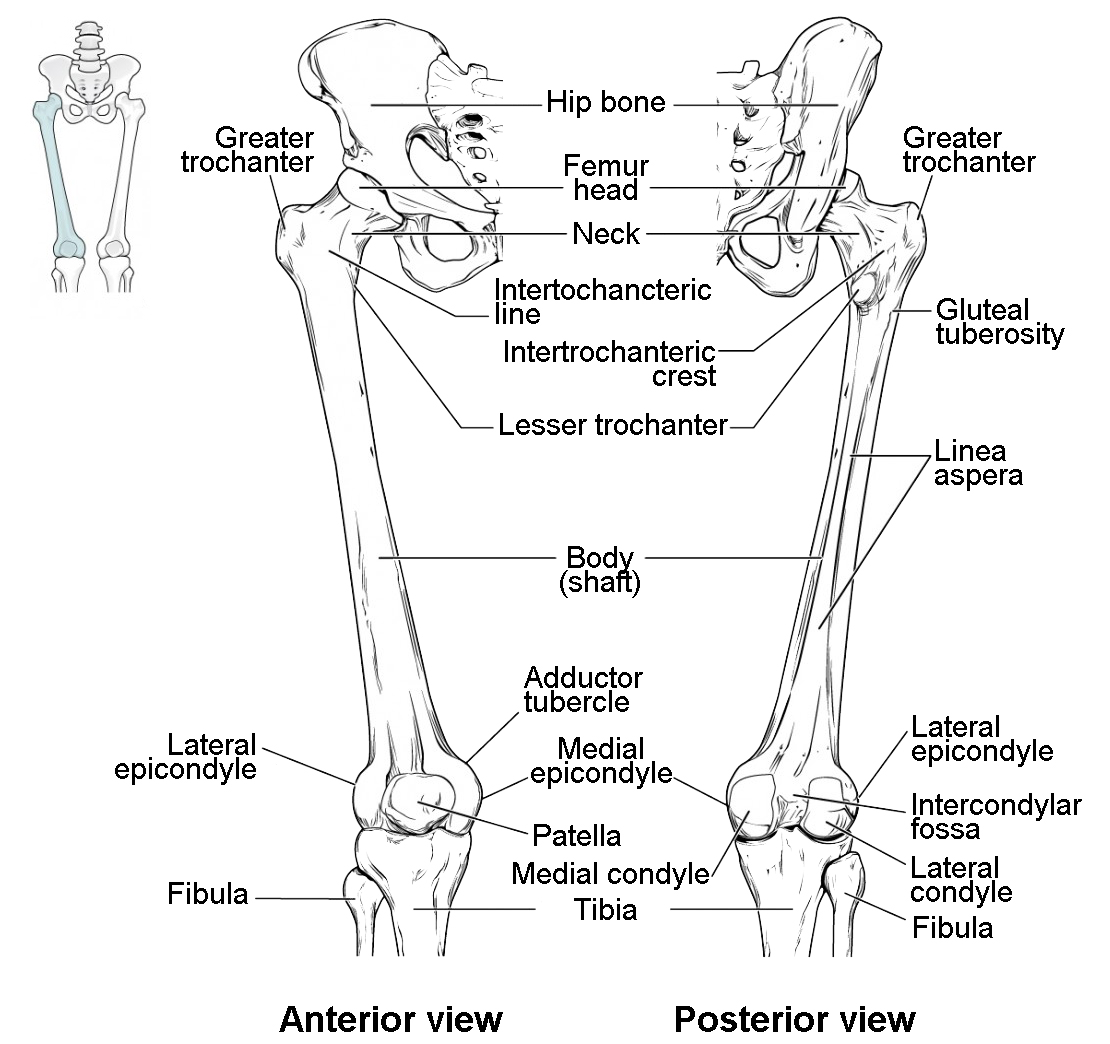 Diagram Of Lower Limb Bones