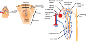 Human Osmoregulatory and Excretory Systems | Boundless Biology