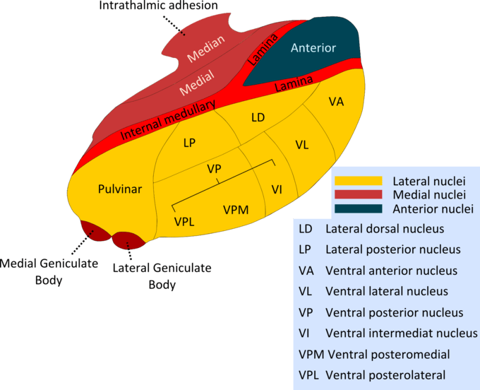 This diagram indicates the nuclei of the thalamus and other structures, including intrathalmic adhesion, median, medial, internal medullary, lamina, anterior, pulvinar, medial and lateral geniculate body, lateral dorsal and posterior nuclei, ventral anterior and lateral nucleus, ventral intermediate nucleus, ventral posteromedial, and ventral posterolateral.