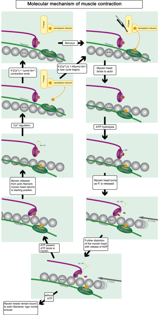 This diagram illustrates the molecular mechanism of muscular contraction. With application of a stimulus, the myosin head binds to actin, resulting in ATP hydrolysis. The myosin head turns as P is released and is further distorted with the release of ATP. When ATP is present, it binds to myosin, which releases from the actin filament returning the myosin head to starting position. CA2 regulation either causes contractions to end or a new cycle to begin. When myosin heads remain bound to actin filaments, rigor mortis ensues.