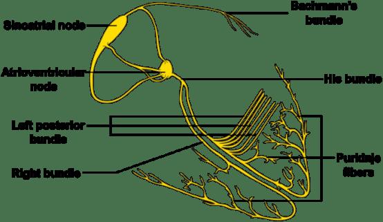 This diagram of the cardiac conduction system indicates the SA node, AV node, left posterior bundle, right bundle, Purkinje fibers, His bundle, and Bachmann's bundle.