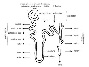 Urine | Boundless Anatomy and Physiology