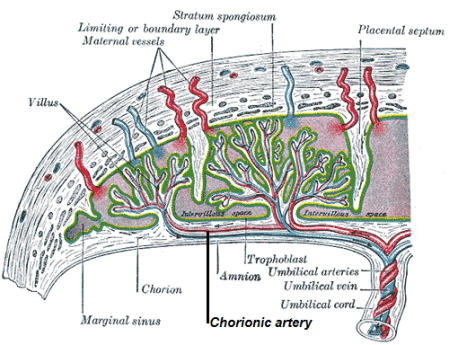 This is a schematic drawing of a chorionic artery. It shows the chorionic villi connecting to the maternal vessels.