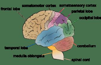 This diagram of the cerebral lobes delineates the frontal lobe, temporal lobe, medulla oblongata, spinal cord, cerebellum, occipital lobe, parietal lobe, somatosensory cortex, and somatomotor cortex.
