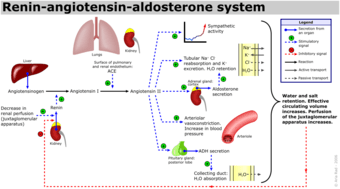This is a schematic diagram of the renin-angiotensin-aldosterone system. It shows how the renin-angiotensin system is dependent on ACE from the lungs to regulate blood pressure. ACE converts angiotensin I into angiotensin II, which are two important hormones in the renin-angiotensin feedback loop of the renal system. ACE activity results in increased blood pressure.