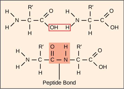 Znalezione obrazy dla zapytania peptide synthesis from two amino acids