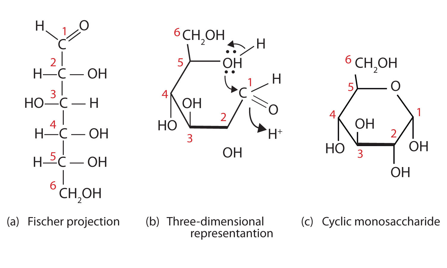 16 4 Cyclic Structures Of Monosaccharides