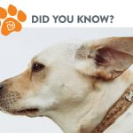 Keep Your Dog's Ears Clean and Healthy