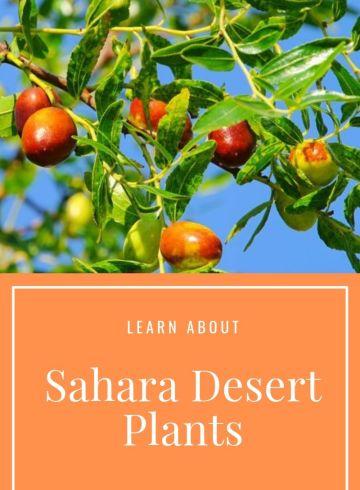 Sahara-Desert-Plants