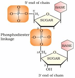Image result for Nucleotides are joined together by phosphodiester linkage between 5' and 3' carbon atoms of the pentose sugar.