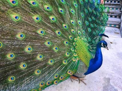 Peacock sighting!