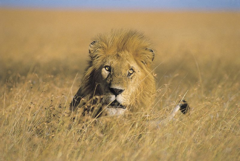 Trump Administration Grants First Trophy Import Permit for Tanzanian Lion