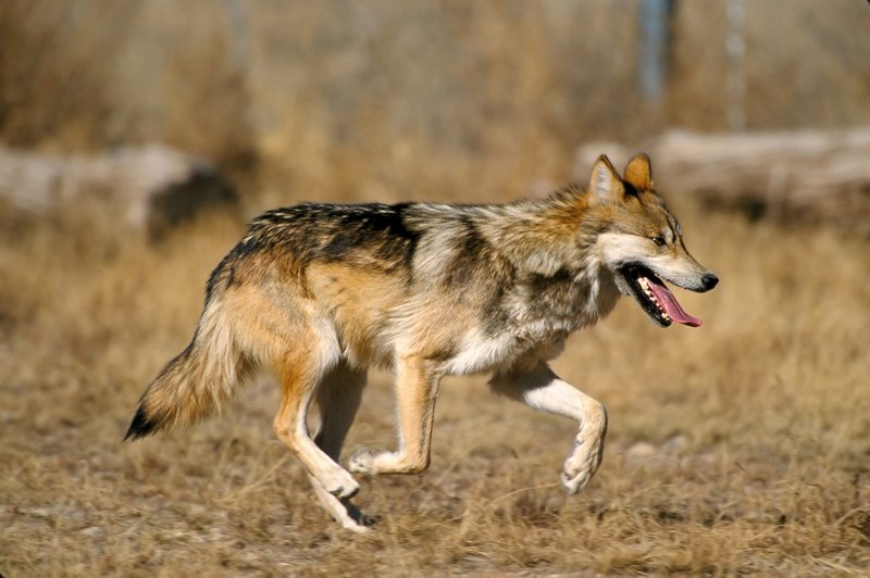 ,000 Reward Offered for Info on Slain Mexican Wolf in Arizona