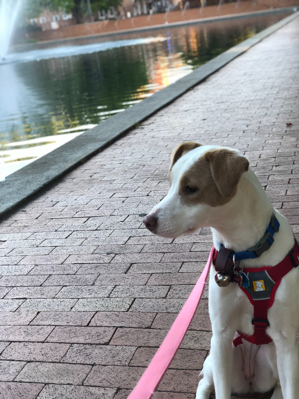 Web Master Dog Harness