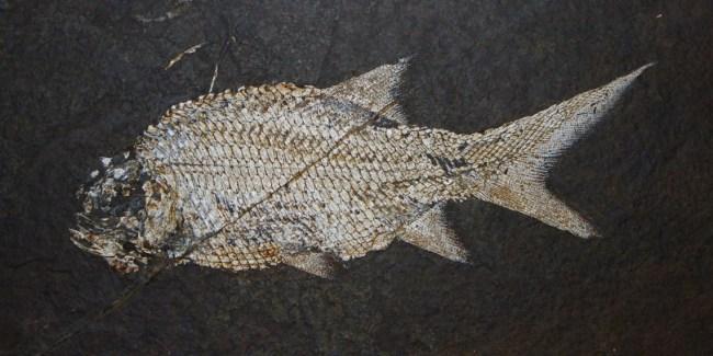 gray fish on black background