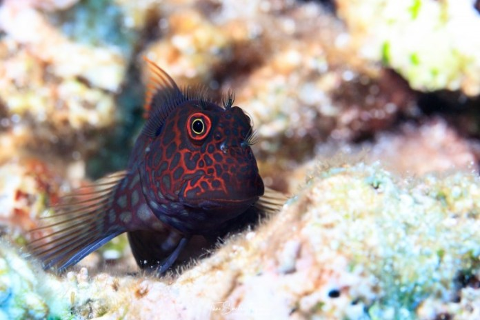 a fish called blenny