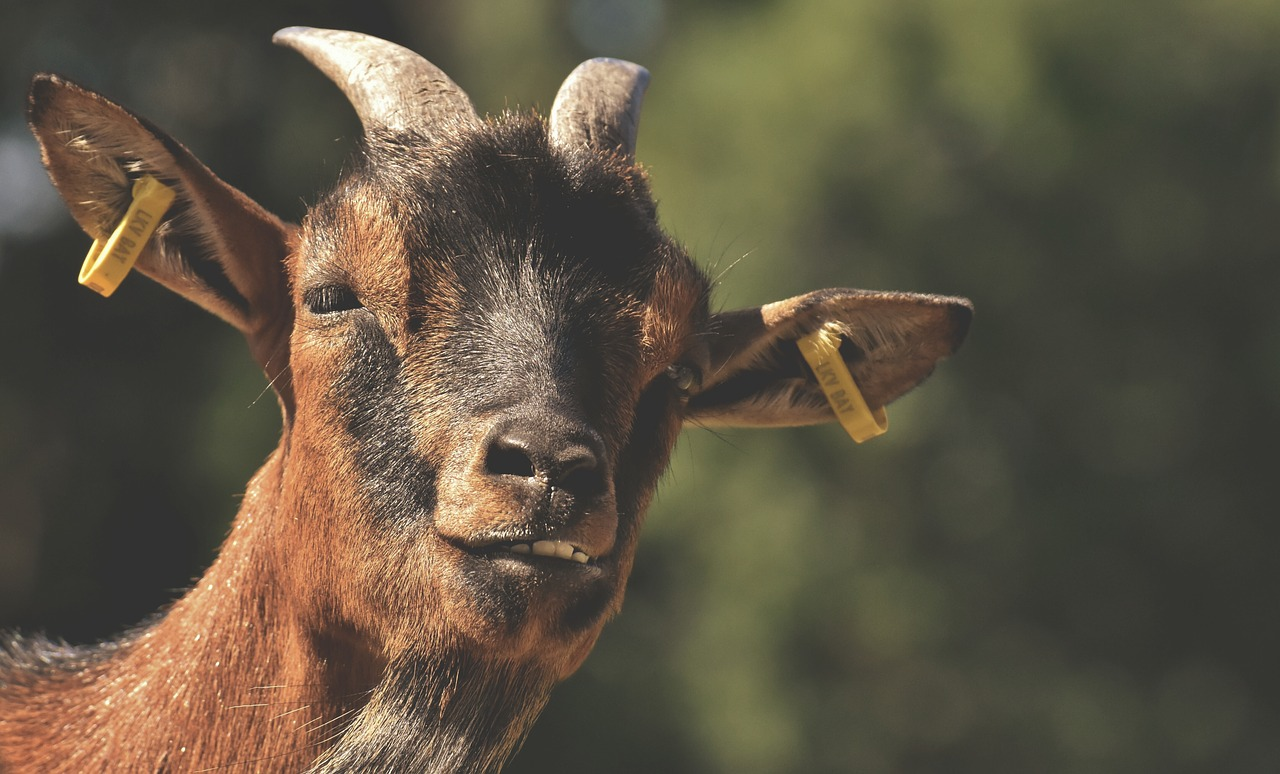 Penn State Offers Course On Meat Goat Production