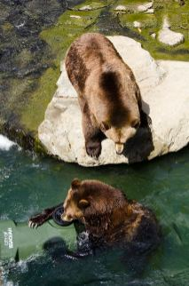bear affair