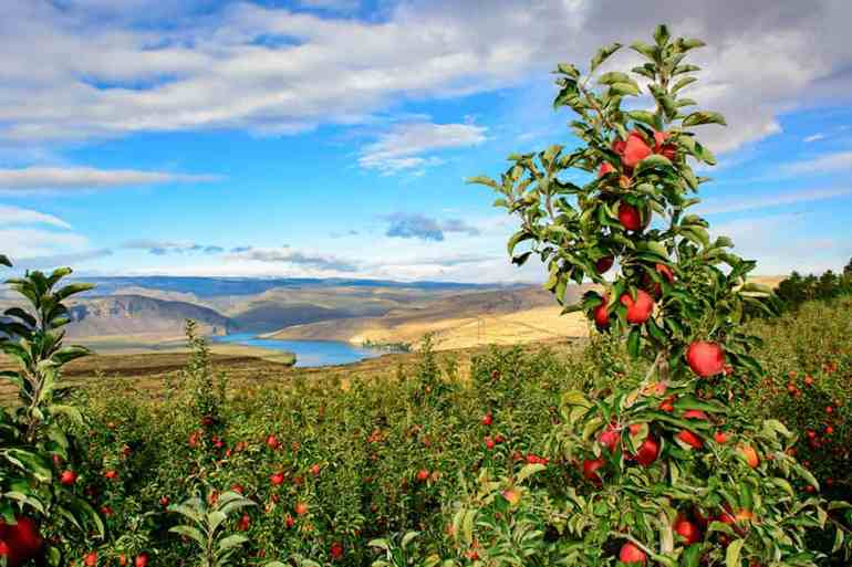 New Breakthroughs in Washington Apples