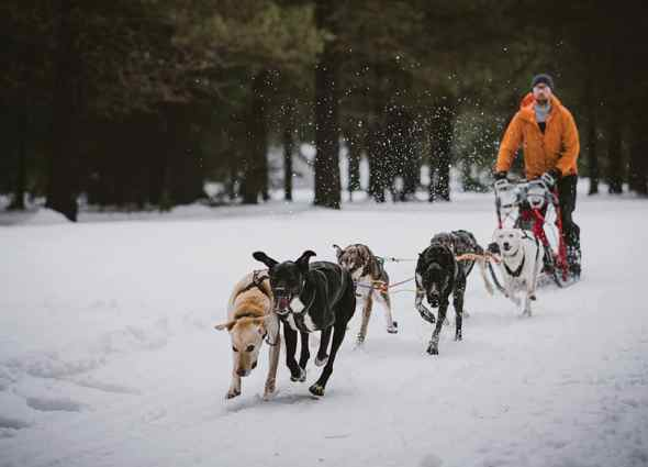 6 dog sled team