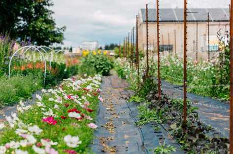 august_september_2018_flower_farm_Katheryn_Moran_Photography_Bellingham_Washington_Triple_wren_farm4
