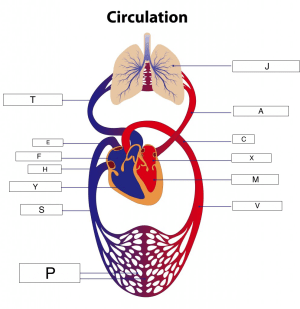 overview of the cardiovascular system (lesson 0390)  TQA