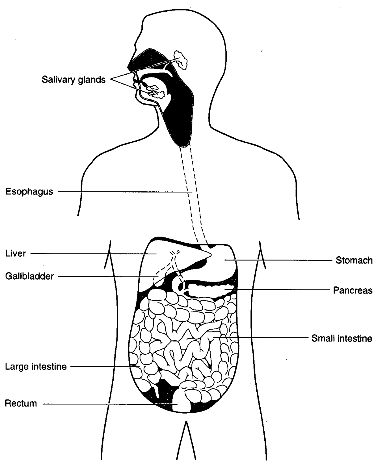 Diagram Of Esophagus Stomach And Intestines