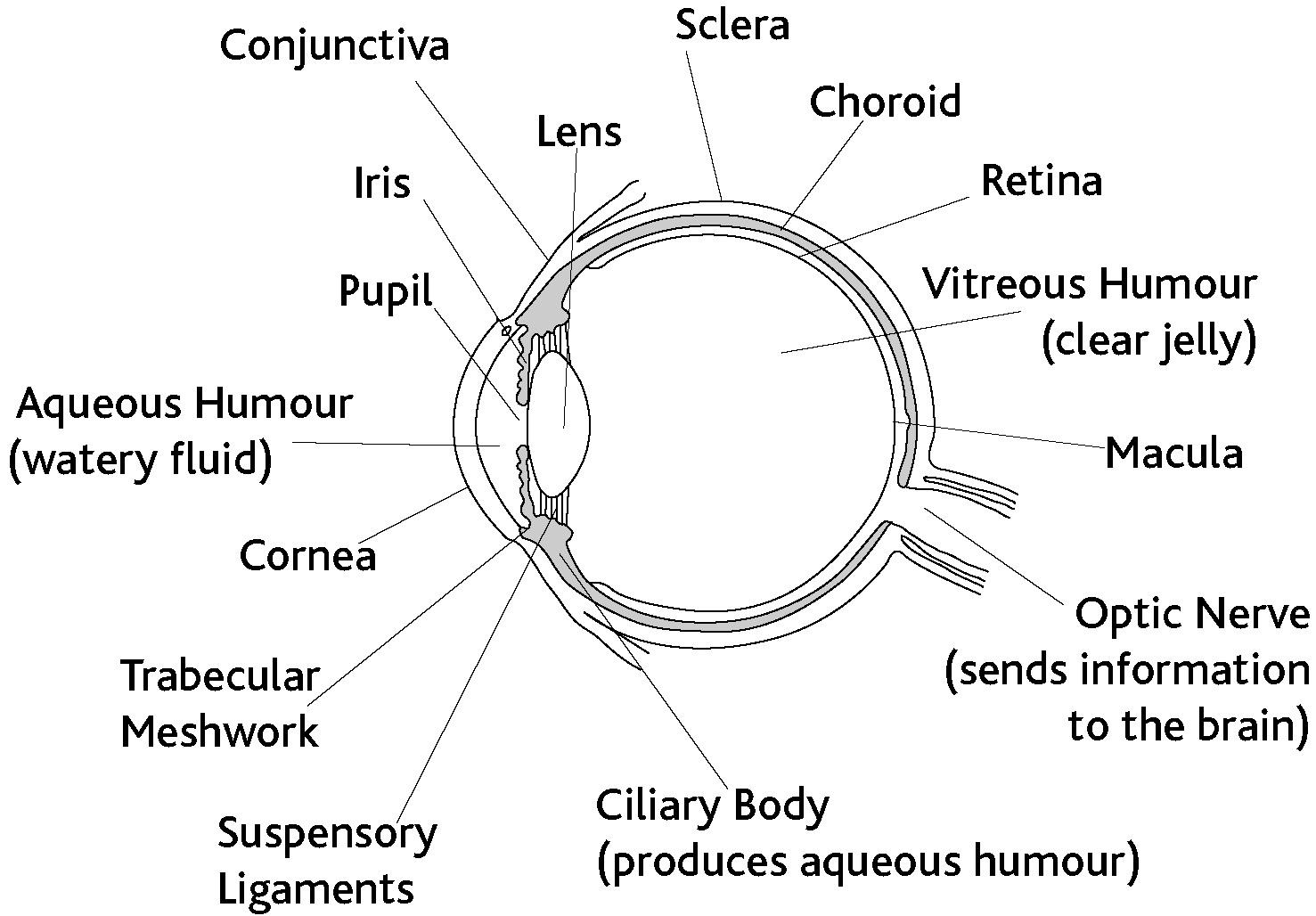 Eye Diagram Labeled Aqueous Humor