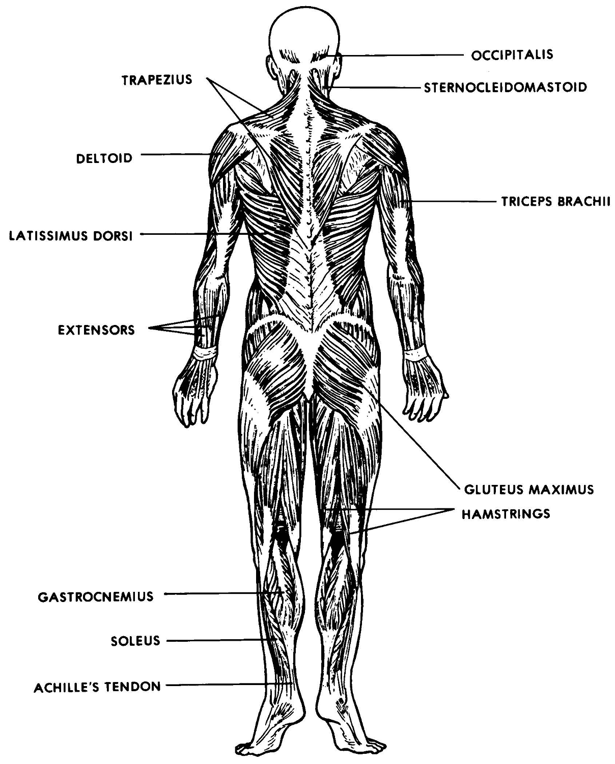 The Muscular System Lesson