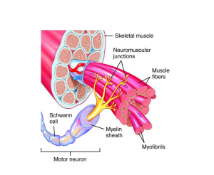 the muscular system (lesson 0386)  TQA explorer