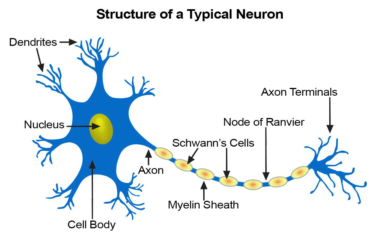 The Nervous System Lesson