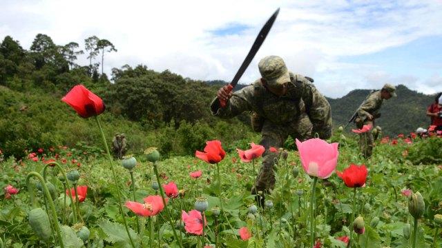Por primera vez en la historia, el gobierno mexicano en cooperación con la ONU contabilizó 25 mil hectáreas de cultivos de amapola, la planta con la que se produce la heroína
