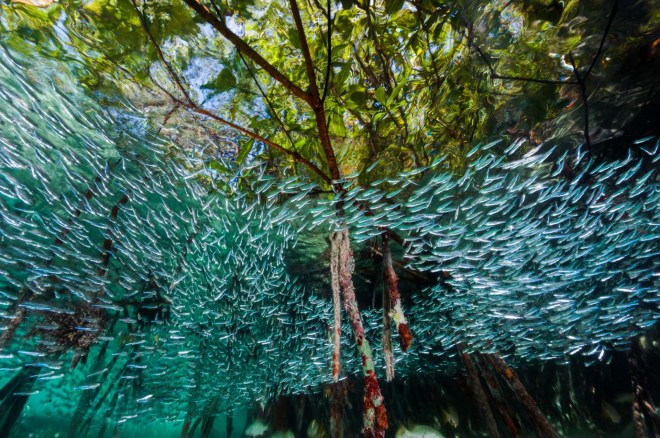 David Doubilet es un experto fotógrafo de National Geographic que refleja la sutileza y la furia que poseen las especies que habitan en las profundidades marinas. En la foto: pejerreyes se arremolinan en un bosque de manglar.