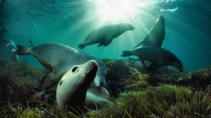 Leones marinos australianos nadan en las aguas de la gran bahía australiana