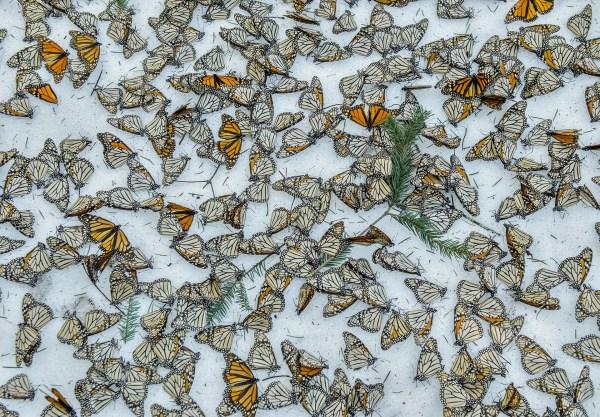 Naturaleza, tercer premio. Una alfombra de mariposas monarca cubre el suelo del Bosque de Mariposas El Rosario. Jaime Rojo, REUTERS