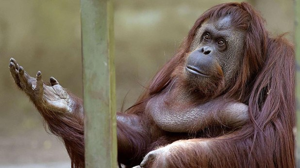 Sandra sigue esperando en el zoo porteño, actual Ecoparque, que se haga efectivo su traslado a un santuario de EEUU.