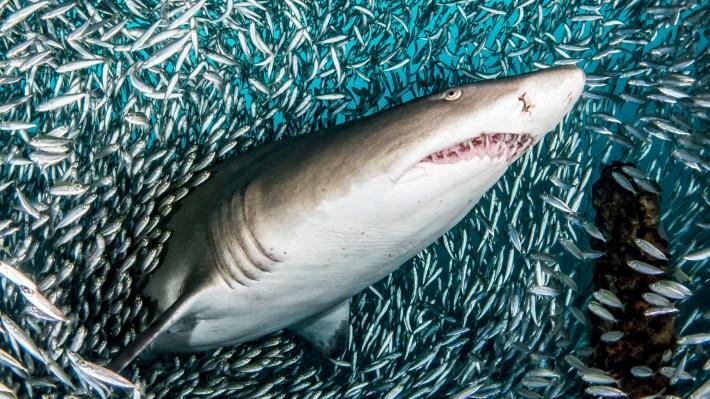 No existen muertes humanas registradas por estos ejemplares por lo que la fotógrafa pretende que con estas imágenes el hombre comprenda que no todas las especies de tiburones son criaturas a temer