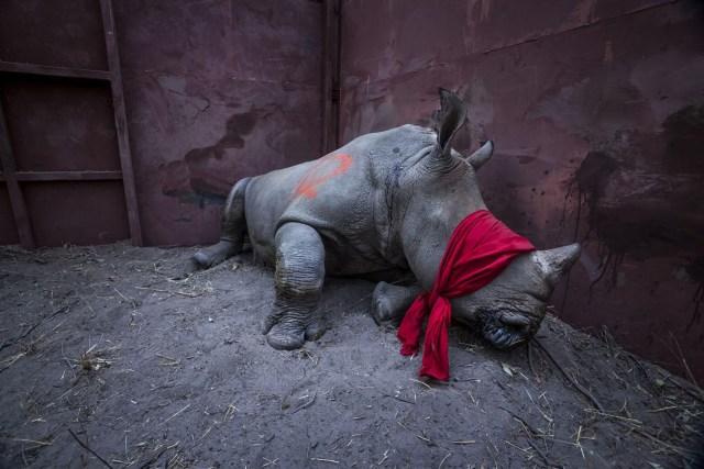 Waiting For Freedom – Esperando por la libertad: un joven rinoceronte blanco, drogado y con los ojos vendados, a punto de ser liberado en el Delta del Okavango, Botswana, después de su reubicación desde Sudáfrica para protegerse de los cazadores furtivos. (Neil Aldridge, Sudáfrica)