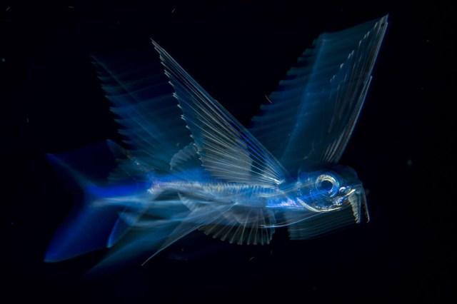 Flying Fish in Motion – Pescado volador en movimiento: un pez volador nada bajo la superficie en la Corriente del Golfo a altas horas de la noche, en Palm Beach, Florida, Estados Unidos. (Michael Patrick O'Neill, Estados Unidos)