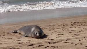 El macho se alejó de la playa luego de perder una pelea con otro mamífero (Foto: Archivo)