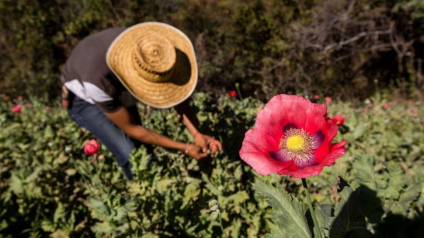 La Montaña de Guerrero es una de las zonas más pobres de México y la más importante en el cultivo de amapola.