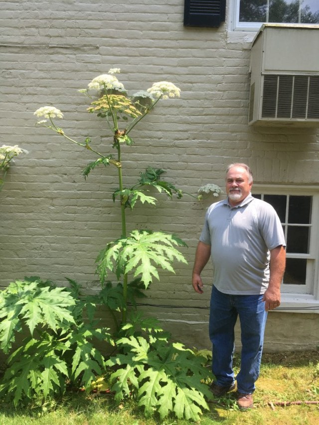 Corey Childs, de Virginia Tech, junto a una planta hogweed gigante (Virginia Tech/The Washington Post)