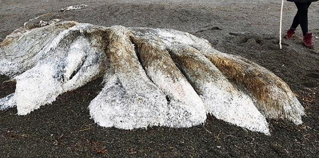 El miestrios mosntruo apareció en las costas de Kamchatka