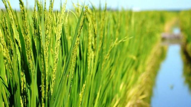 El maíz podría alcanzar un récord provincial si se implantan las 2.359.600 hectáreas proyectadas