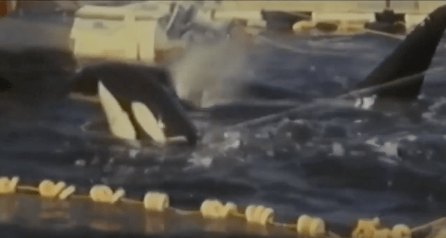 El primer nombre de Lolita fue Tokitoe, fue capturada el 8 de agosto de 1980 (foto) junto con otras seis orcas, y es la única sobreviviente