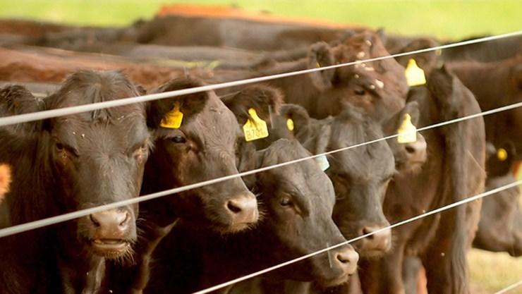 Los ganaderos buscan mejores condiciones para el novillo pesado.