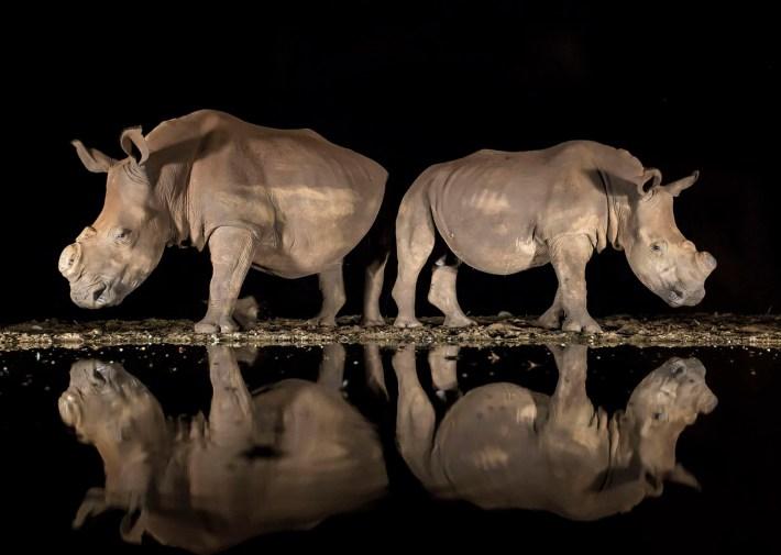 Dos rinocerontes blancos, tarde en la noche, en una reserva natural en Zimanga