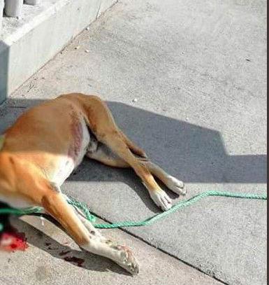El perro quedó tendido en la banqueta de la calle que cuidaba (Foto: Twitter vaqiMoraKikiana)