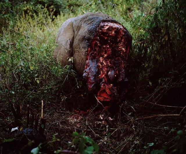 La impactante imagen del elefante asesinado por cazadores en Kenia (@chancellordavid)
