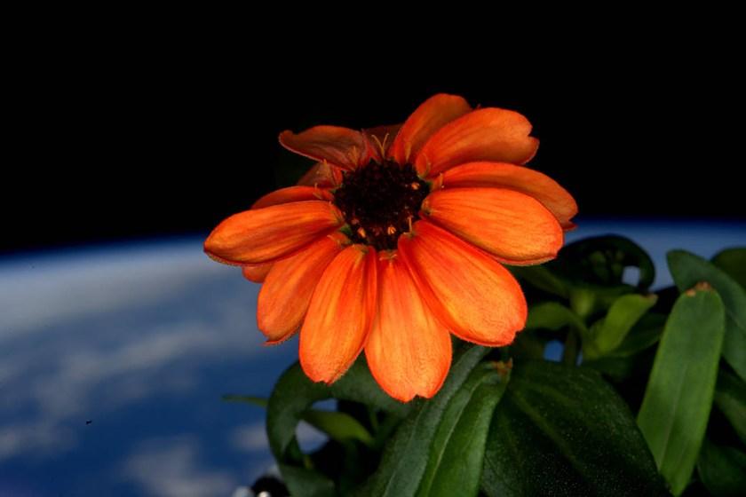 Una flor zinnia florece en un área de la cúpula de la EEI. (Scott Kelly/NASA via The New York Times)
